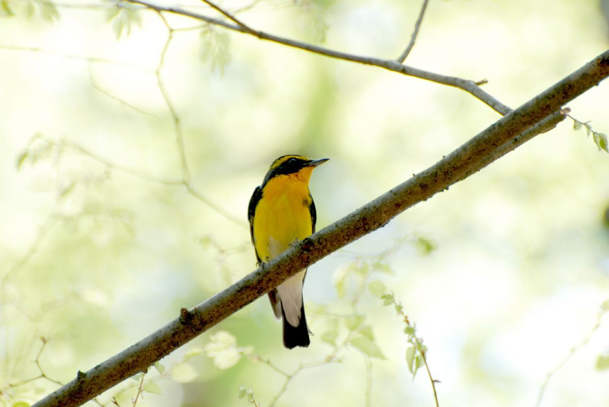 The Narcissus/Yellow-rumped Flycatcher complex has now been split into four full species; this is an adult male nominate Narcissus Flycatcher in Osaka, Japan. Photo: kuribo (commons.wikimedia.org).