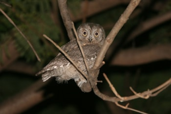The nominate form of Scops Owl passes through Cyprus on migration, but the prime habitat is already occupied by the sedentary endemic form. Photo: Álvaro Rodríguez Alberich (commons.wikimedia.org).
