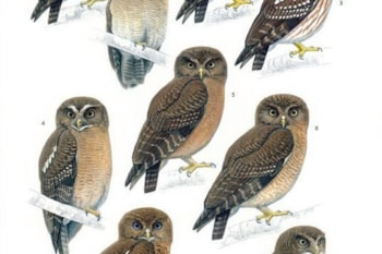 There are notable differences between all of the forms of Philippine Hawk Owl, as it was once called. Image: John Gale (BirdLife International).