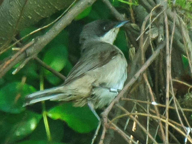 The Western Orphean Warbler at Hartlepool Headland, Co Durham, on 29 May, initially showed that it can still be a tough ID call, despite the firming up of its taxonomic diagnostics. Photo: Steve Young (www.birdsonfilm.com).