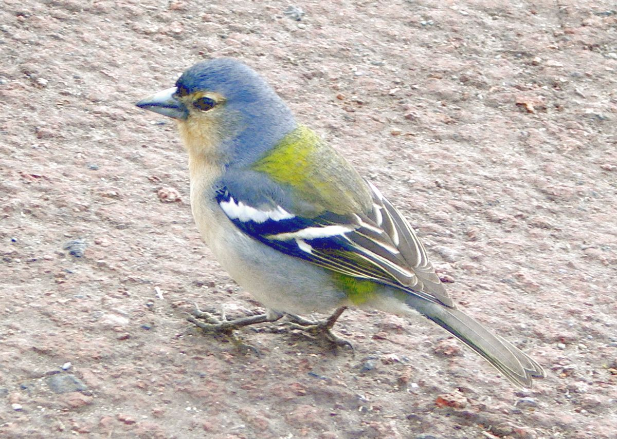 This Azorean Chaffinch of the subspecies <em>moreletti</em> is certainly distinctive, and a split is hinted at, though not confirmed in the new study. Photo: Froth82 (commons.wikimedia.org).