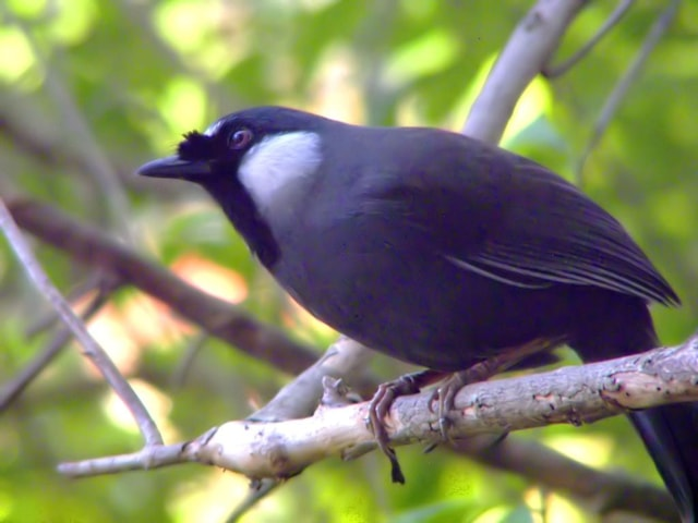 This Black-throated Laughingthrush of the nominate subspecies was photographed in Tsing Yi Park, Hong Kong, China. Photo: Charles Lam (commons.wikimedia.org).