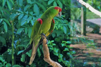 This captive Thick-billed Parrot at Queens Zoo, New York, USA, is now likely to be lumped with the rarer Maroon-fronted Parrot in its native Mexico. Photo: Futureman1199 (commons.wikimedia.org).