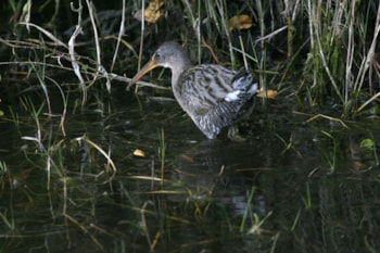 This Clapper Rail in Florida may now be split as a separate species from its east coast counterparts.  Photo: Dominic Sherony (commons.wikimedia.org).