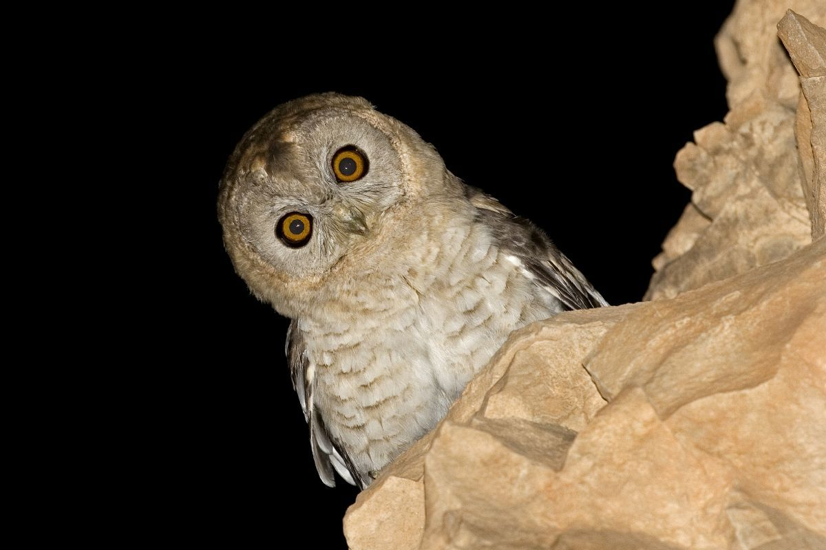 This Hume's Owl photographed in Israel in 2011 is now a new species, after the type specimen was found to be closer to 'Omani Owl'. Photo: Rony Livne.