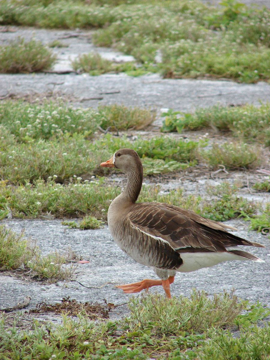 This immature White-fronted Goose photographed on Midway Atoll, Hawaii, is probably one of the two smaller American subspecies, but assignment of wintering birds has obscured the species' true taxonomy. Photo: Forest and Kim Starr (commons.wikimedia.org).