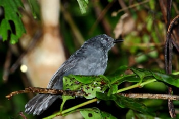 This male Blackish Antbird from its core range in the central Amazonian region remains as it was, but has now lost a western subspecies to a split. Photo: Hector Bottai (commons.wikimedia.org).