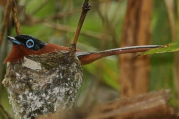 This male Malagasy Paradise Flycatcher of the subspecies singetra was photographed on the nest at Marojejy National Park. Photo: Kris Norvig (commons.wikimedia.org).