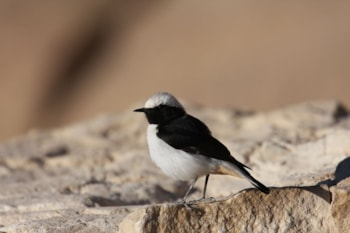 This nominate Mourning Wheatear shows the rufous undertail coverts that Basalt Wheatear lacks, among other features. Photo: logan kahle (commons.wikimedia.org).