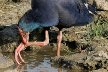 This nominate Purple Swamphen could now be one of three species in the Western Palearctic, as <em>madagascariensis</em> and <em>poliocephalus</em> are also present in the region, in Egypt and Turkey respectively. Photo: Bill Baston.