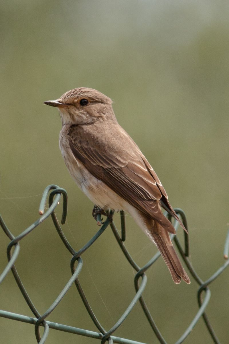 This Spotted Flycatcher of the form tyrrhenica was photographed on southern Sardinia in late May 2011, and is mooted as a new subspecies. Photo: Michele Viganò.