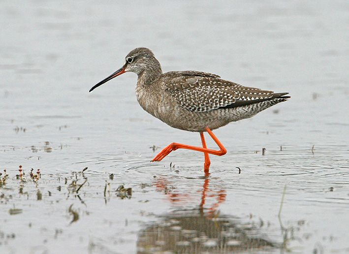 This Spotted Redshank is in juvenile plumage but has already started moulting its mantle feathers. The new pale grey feathers are part of its first-winter plumage and will replace the brown ones as autumn progresses. Photo by Bill Baston.