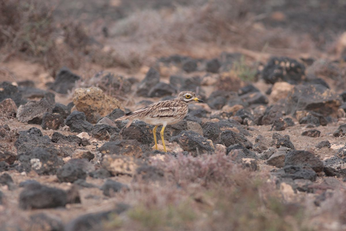 This Stone-Curlew on Lanzarote belongs to the sedentary subspecies <em>insularum</em> - but is it a new cryptic Canarian endemic, along with the stone-curlews on the rest of the archipelago? Photo: James Lowen.