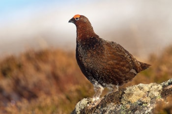 Though considered a subspecies of Willow Grouse by many authorities, Red Grouse is differentiated from the former by both plumage and habitat. Photo: Marcus Conway (www.ebirder.net).