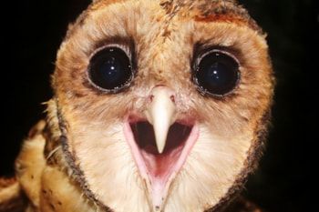 Up close and personal with Seram Masked-owl. Photo: M K Poulsen.