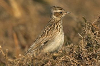 Woodlark is a great March find among a flock of its commoner congener, Skylark. Photo by Steve Young (www.birdsonfilm.com).