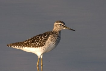 Wood Sandpiper. Photo by Bas Haasnoot (www.agami.nl).
