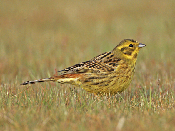 july id tips female and juvenile yellowhammer and cirl bunting