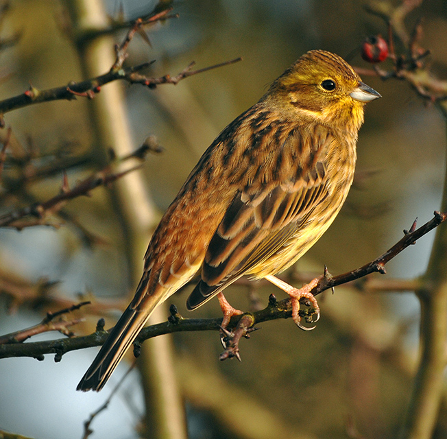 july id tips female yellowhammer and cirl bunting birdguides