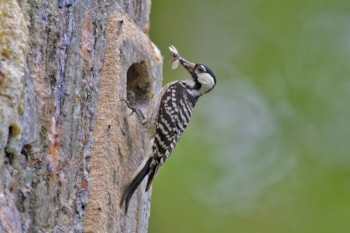 Red-cockaded Woodpecker is a fast-declining pine specialist which relies on the wildlife refuge system to bolster its numbers.  Photo: snowmanradio (commons.wikimedia.org).