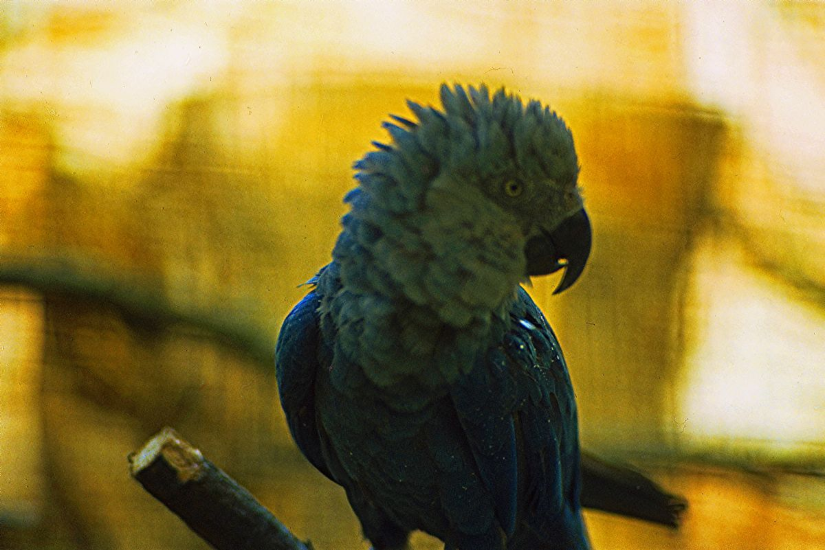 Spix's Macaw at the Vogelpark in Walsrode, Germany, in 1980; the species is now extinct in the wild owing in part to the depredations of illegal bird traders. Photo: Rüdiger Stehn (commons.wikimedia.org).
