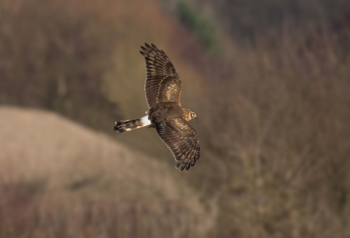 The Hawk and Owl Trust are beginning to received much criticism for their stance on how to manage Hen Harrier. Andreas Trepte (commons.wikimedia.org).