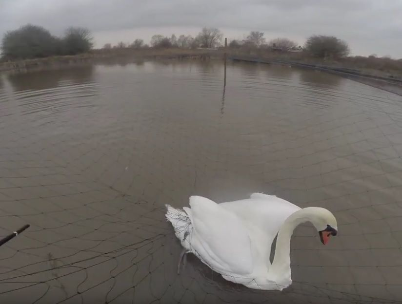 The Mute Swan was trapped in netting on a pond in Cheshire before it was rescued. Photo: RSPCA.
