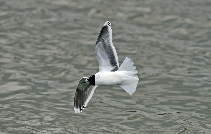Little Gull by Steve Young