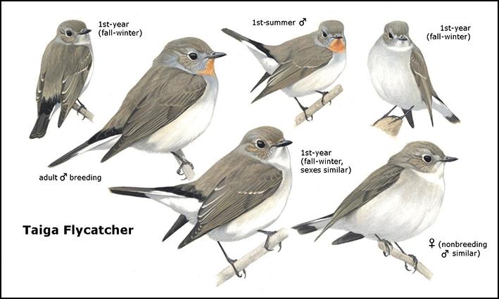 Taiga Flycatcher, Rare Birds of North America