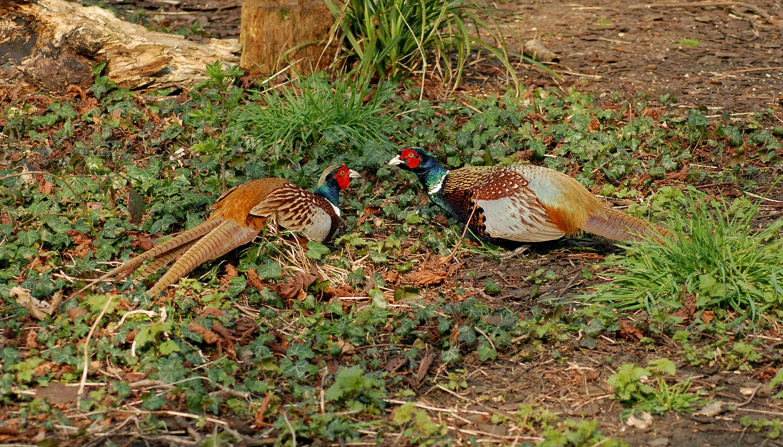 Pheasant photo ID guide - BirdGuides