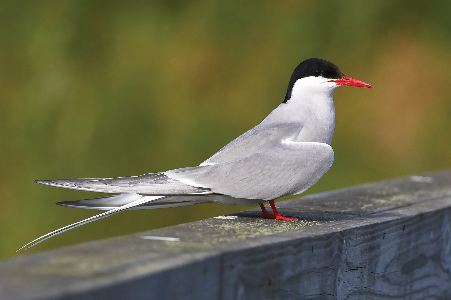 Common, Arctic and Roseate Tern photo ID guide - BirdGuides