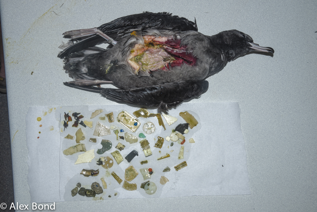 The Flesh-footed Shearwaters of Lord Howe Island in the Tasman Sea are ingesting plastic waste from around the world, sometimes up to hundreds of pieces.