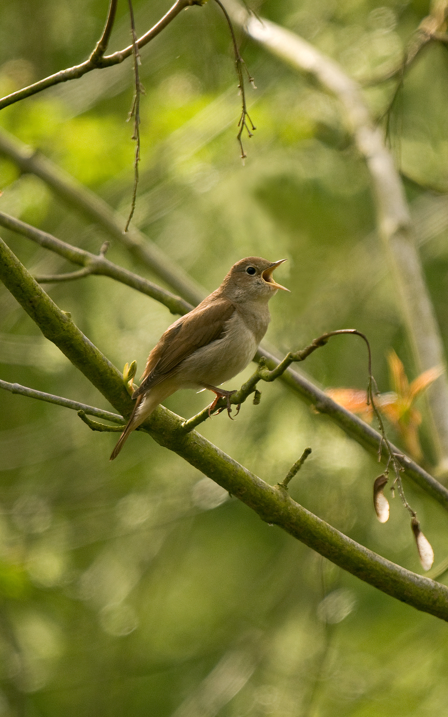 Common Nightingale © Steve Young