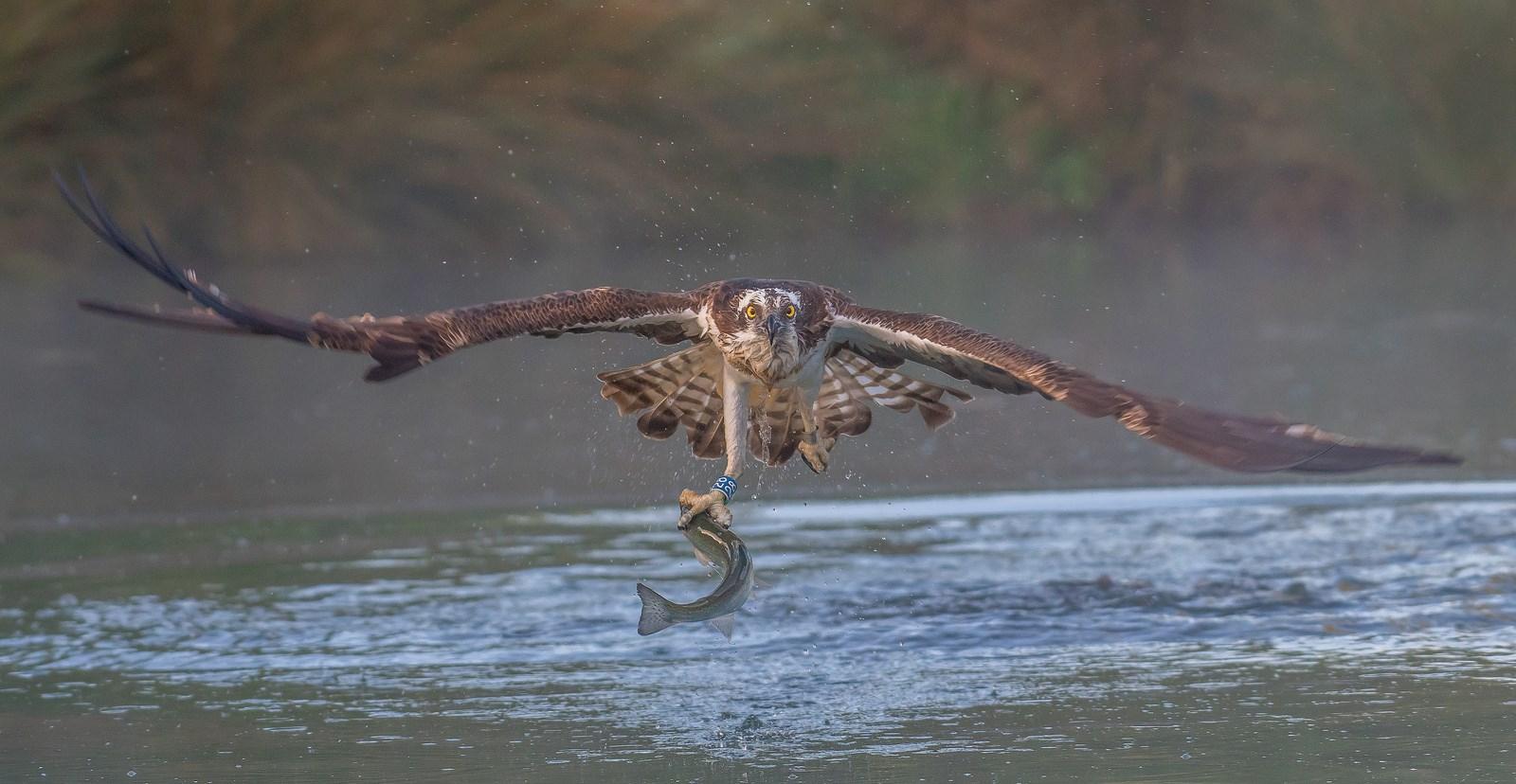 Western Osprey, Rutland Water