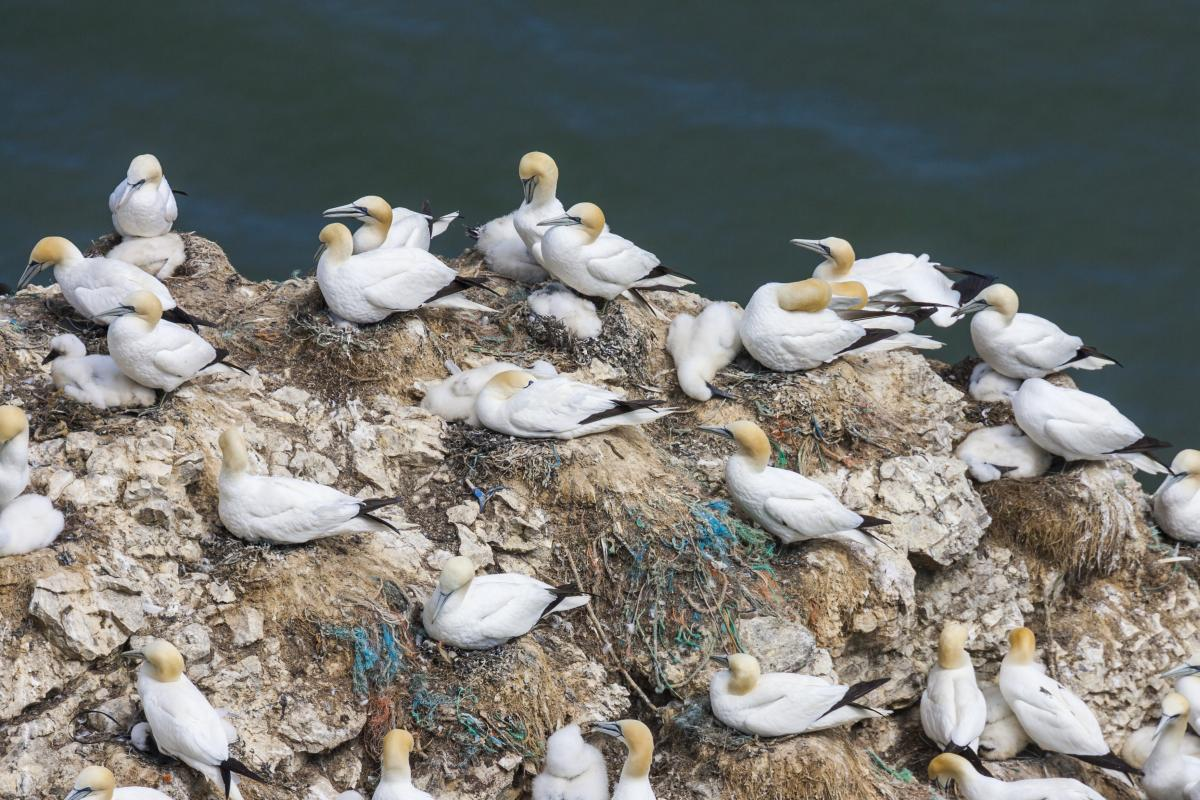 The gannetry at Bempton Cliffs, East Yorkshire, is blighted with plastic pollution as the birds incorporate it into their nests (Oliver Smart).