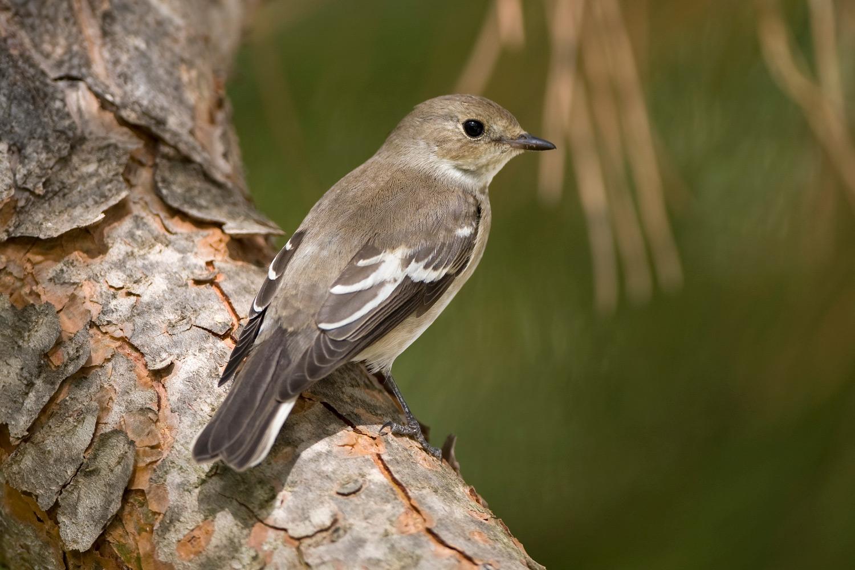 Autumn flycatchers photo ID guide - BirdGuides