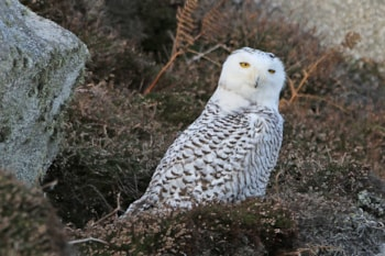 Snowy Owl by Mark Leitch