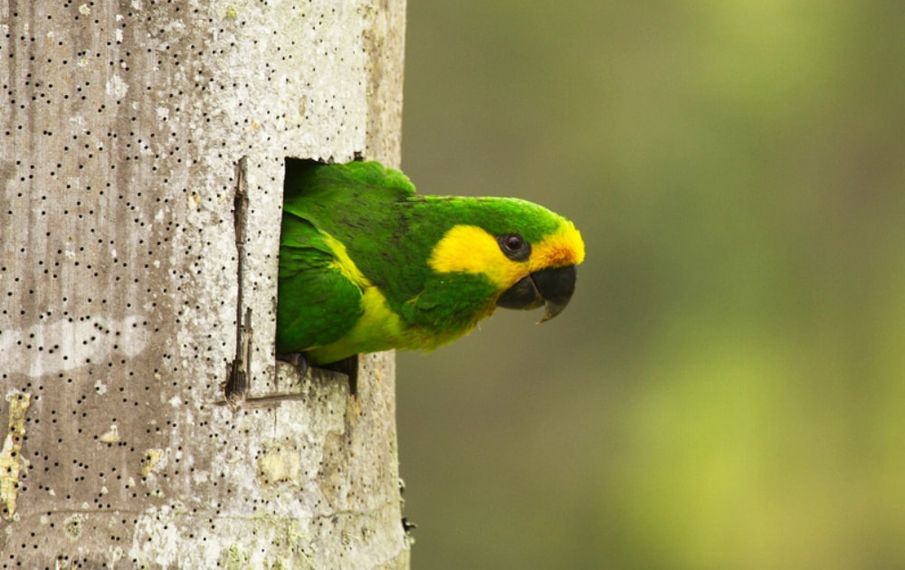 Yellow-eared Parrot: how conservation united a nation