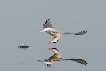 Common Tern by Henry Szwinto