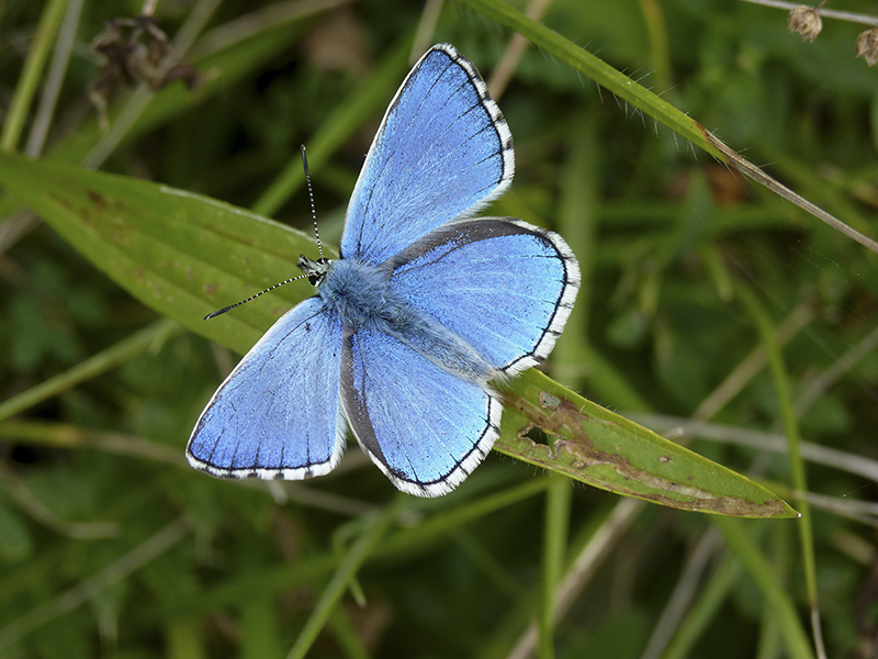 Adonis Blue butterfly at Calstone and Cherhill Down. Photo by Matthew Oates/National Trust Images
