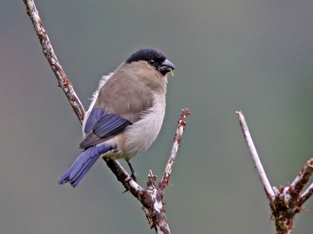 Azores Bullfinch. Photo: Dominic Mitchell.