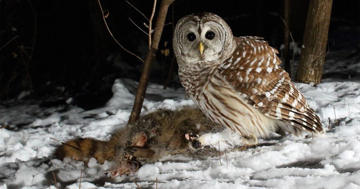 Owls routinely eat roadkill, study finds