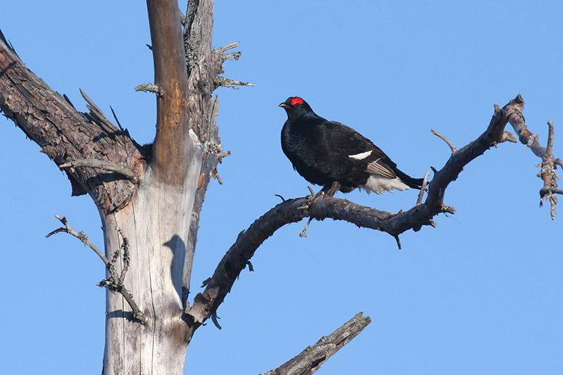 Black Grouse (photo courtesy of Birding Breaks).