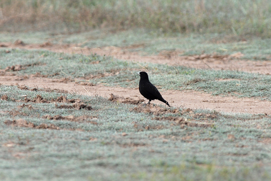 Black Lark (Laurens Steijn, courtesy of Birding Breaks)