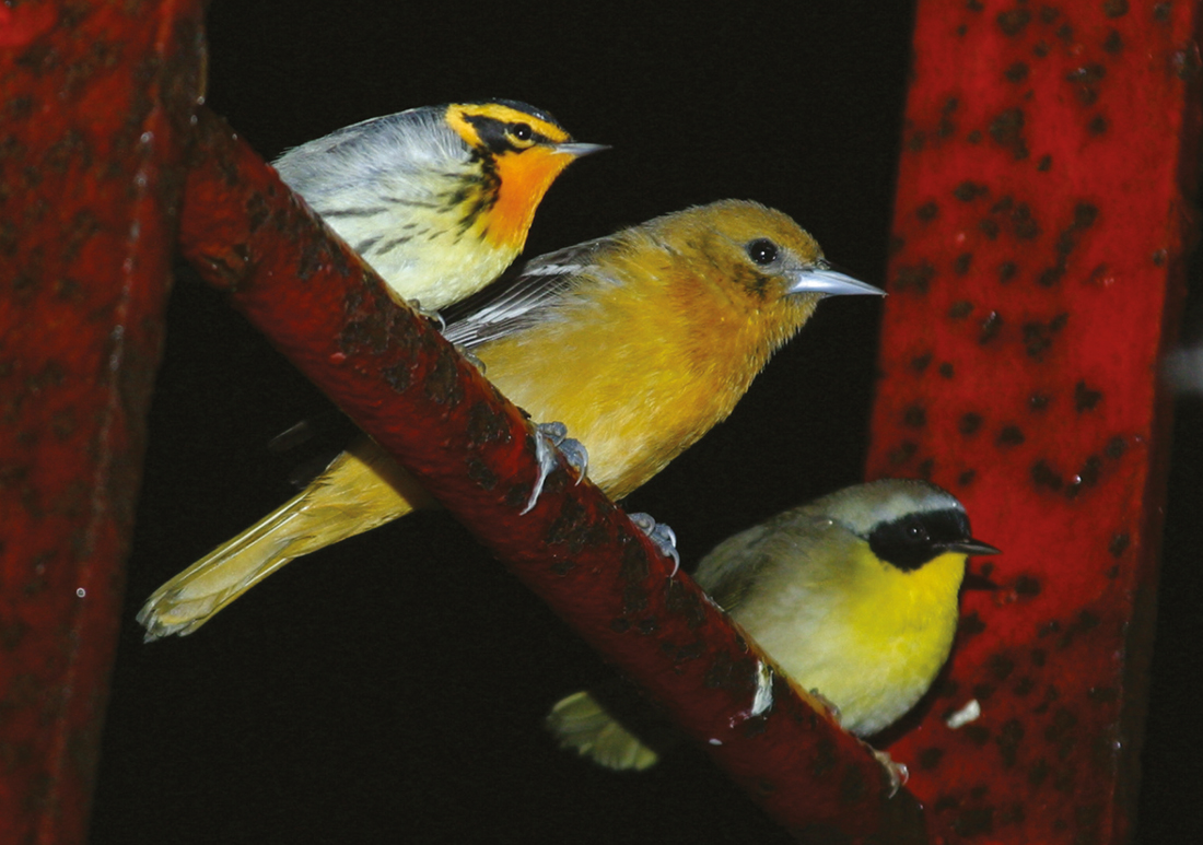 Blackburnian Warbler, Baltimore Oriole and Common Yellowthroat