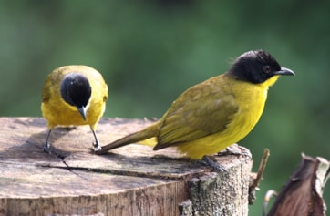 Black-headed Bulbul