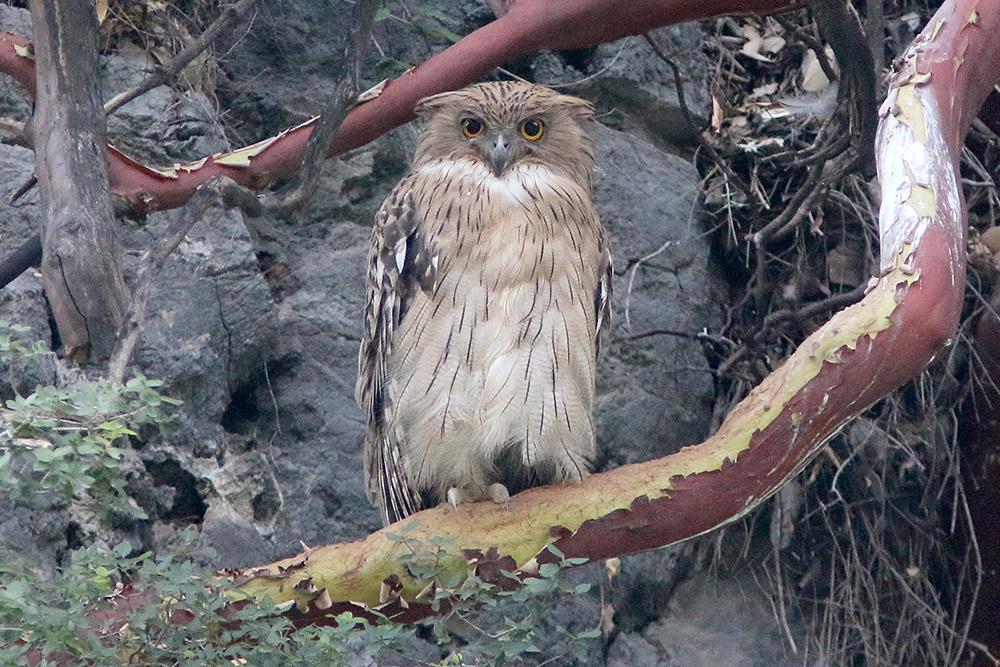 Brown Fish Owl - Dominic Mitchell