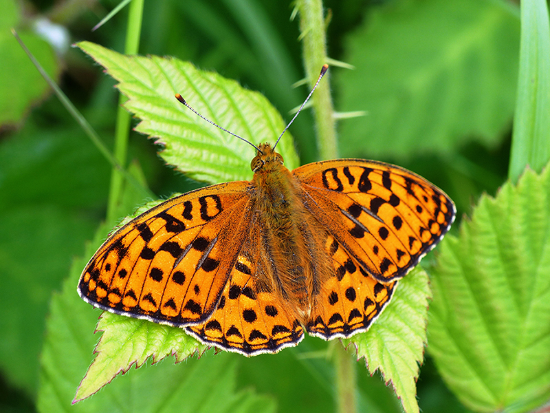 High Brown Fritillary butterfly in June at Heddon Valley, Devon. Photo by Matthew Oates/National Trust Images.
