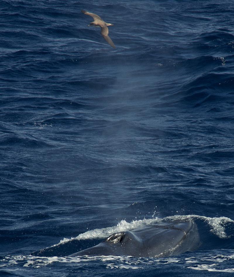 Bryde's Whale (Graham Muir).