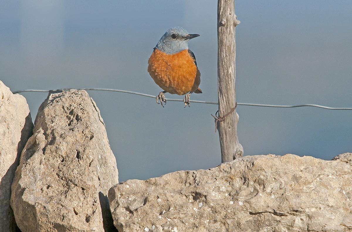 Common Rock Thrush (photo by Valencia Birding).